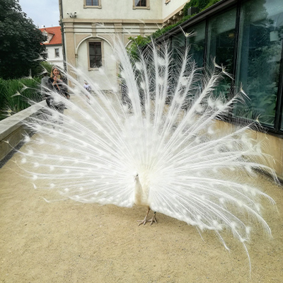white peacock with tail feather displayed