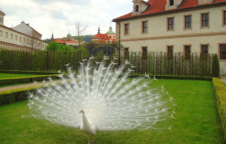 white peacock on lawn